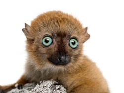 Close-up of a Baby Blue-eyed Black Lemur (3 months old)