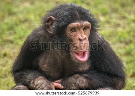 close up of a baby chimpanzee