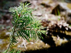 Close up of a baby pine tree growing on the forest floor & bathing in sunlight. Seasonal Concept, Selective Focus, & Copy Space.