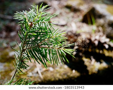 Close up of a baby pine tree growing on the forest floor & bathing in sunlight. Seasonal Concept, Selective Focus, & Copy Space. Photo stock ©