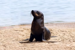 Close up of a baby seal with a blurred background. Namibia