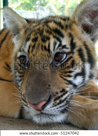 Baby tigers face - photo#16