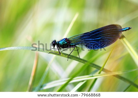 Close-up of a Banded Demoiselle ( Calopteryx splendens )