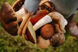 Close-up of a basket wicker with mushrooms in the hands of a young woman. Concept of harvesting and organic food.
