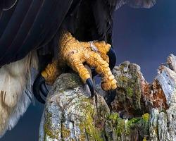 Close up of a beautiful Bald Eagle talon