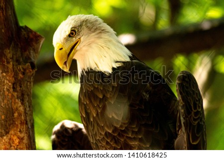 Close up of a beautiful bald eagle. The bald eagle can represent strength, resilience, and American pride. It is a symbol of courage and persistence. #1410618425