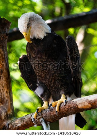 Close up of a beautiful bald eagle. The bald eagle can represent strength, resilience, and American pride. It is a symbol of courage and persistence. #1410618428