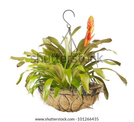 Close up of a beautiful blooming bromeliad or airplant isolated on white
