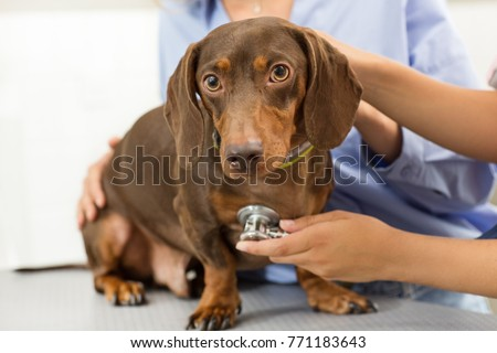 Close up of a beautiful brown dachshund on examining table at the vet clinic professional vet examining a dog while the owner is petting it health checkup canine care pets animals bree stethoscope  - Shutterstock ID 771183643