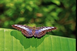 Close-up of a beautiful butterfly on a green leaf. Blurred background.