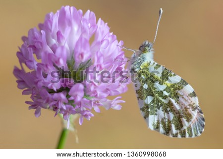 Close up of a beautiful butterfly, the Orange tip (Anthocharis cardamines)