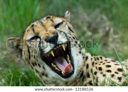close-up of a beautiful cheetah (Acinonyx jubatus)