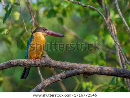 Close up of a beautiful colorful wild Stork-billed kingfisher (Pelargopsis capensis) perched in the tree vegetation in its natural habitat. From state Goa in India.