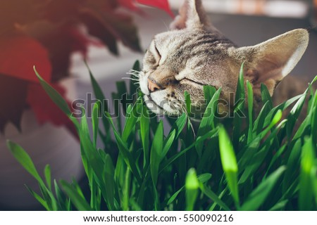 Close-up of a beautiful Devon Rex cat eating fresh green grass. Pet grass. Natural hairball treatment