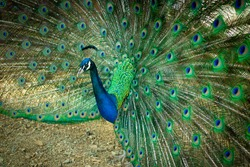 Close up of a beautiful Indian male peacock bird showing his colorful feather tail.