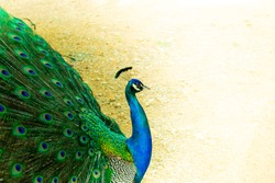 Close up of a beautiful Indian male peacock bird showing his colorful feather tail. A postcard with an empty space for text