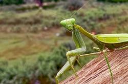 Close up of a beautiful Indian praying mantis.