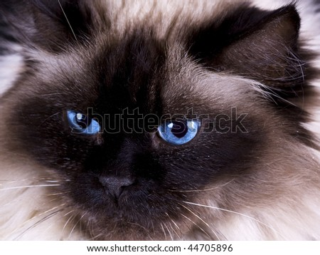 Close-up of a beautiful long haired rag doll cat