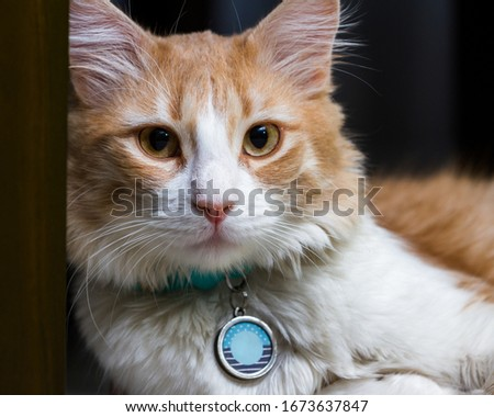 close up of a beautiful orange and white cat wearing a name tag in a dark home setting
