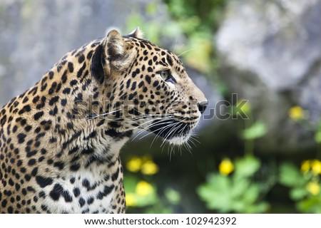 close-up of a beautiful Panther #102942392