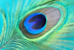 Close up of a beautiful peacock feather