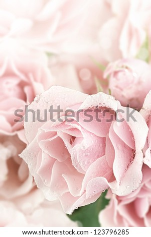 Close up of a beautiful pink tea rose. Shallow depth of field.
