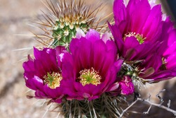 close up of a beautiful purple flower on a desert cactus in Arizona