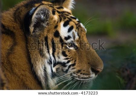 close-up of a beautiful tiger