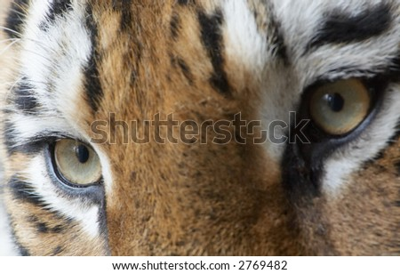 close-up of a beautiful tiger (focus only on left eye!)