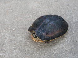 Close up of a beautiful turtle.Tortoise that has shrunk in the shell But standing out and looking outside