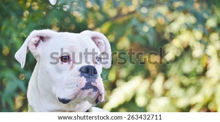 Close up of a beautiful, unique looking white boxer dog with one brown eye and one blue eye.  The dog is framed by a background of blurred trees.  Her ears are perked and she is alert to any sounds.