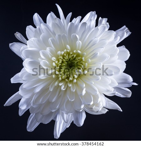 White flower calendula the black isolated background with clipping white flower calendula the black isolated background with clipping path nature closeup no shadows flower lgreen center with dew ez canvas mightylinksfo