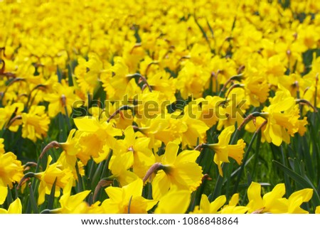 Close-up of a beautiful yellow daffodil field in the light of the Spring Sun. View to Yellow Daffodil (Narcissus) Flowers on a sunny Day in Spring.