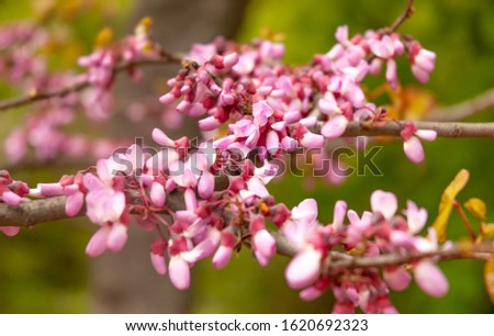 Close-up of a beautifully blooming pink sakura blossoms in spring on a warm sunny day. Concept of the new season of botany and tourism