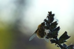 Close up of a bee fly at sunset