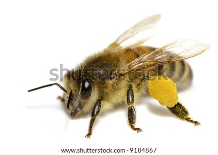 Close-up of a bee over a white background