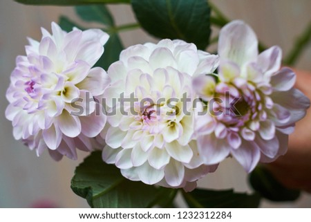 Close up of a beige and pink Dahlia flower