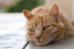 Close-up of a beige and red cat with green eyes and an elongated spotted muzzle, head resting on a concrete floor. Landscape oriented and the depth of field is small giving a blurred background