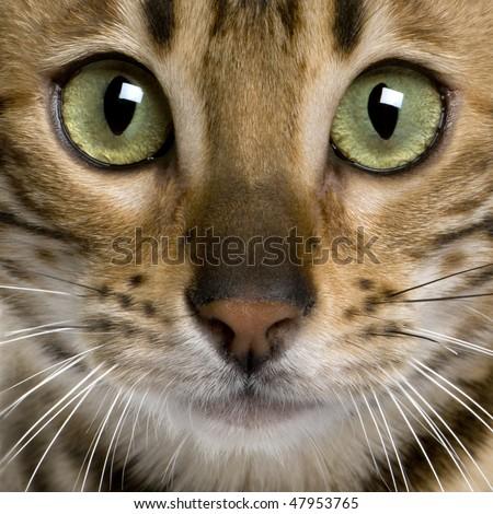 close up of a Bengal kitten (7 months) - stock photo