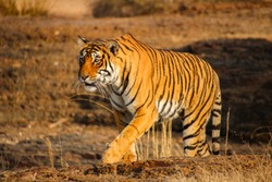 Close-up of a Bengal Tiger in Ranthambore National Park, India