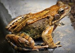 close up of a big brown green frog or toad