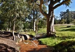 Close up of a big Eucalyptus tree on a little creek