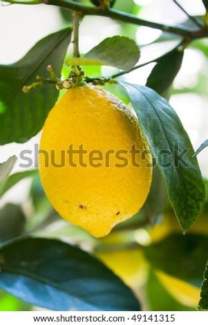 stock-photo-close-up-of-a-big-yellow-lemon-on-its-tree-49141315.jpg
