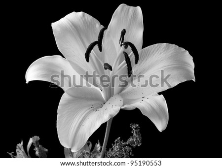 close up of a black and white  lily in a bouquet  on a black background