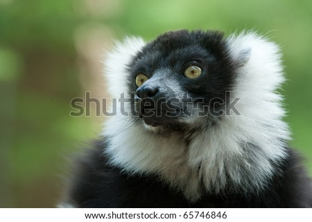 Close-up of a Black and White Ruffed Lemur