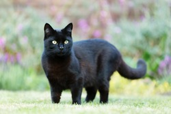 Close up of a black cat on the grass in the garden, UK
