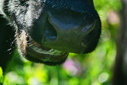 Close-up of a black chewing cow's muzzle, slobbery masticate the grass. Teeth of ruminants