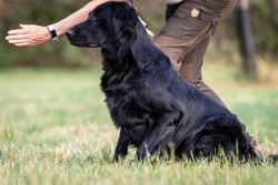 Close up of a black Flat Coated Retriever dog sitting next to its trainer waiting for the order to run and fetch a dummy at a portrait photo shooting with blurred out background