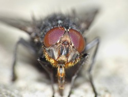 Close up of a black fly with red eyes. taken with lumix camera macro lens