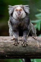 Close up of a Black-tufted marmoset, Atlantic Forest, Brazil